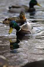 ducks-9597.jpg